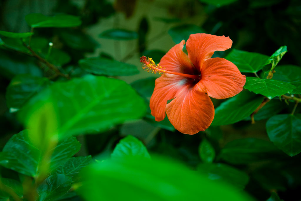 Spain, Barcelona. The Gardens and Public Courtyards: Hibiscus flower at la Torre de les Aigües, the first patio returned to the public.